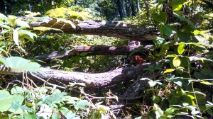 Tree blocking the way up Clements Mtn
